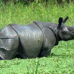 Rhinos of Assam
