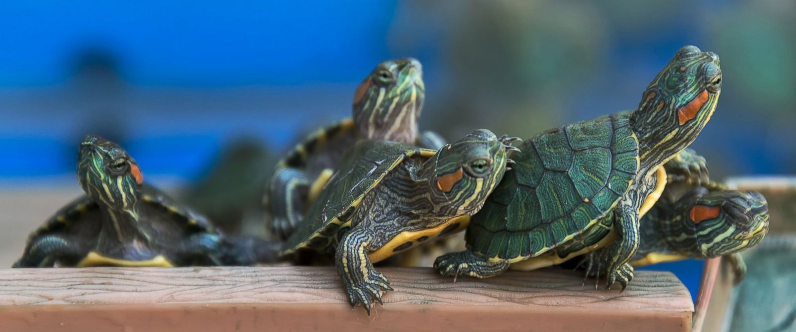 R Turtles Good Pets Top 10 Pets That Gaine...